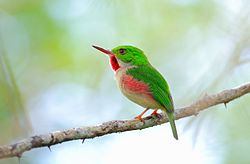 DR Broad-billed Tody1.jpg