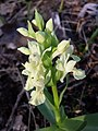 Dactylorhiza sambucina sl42.jpg