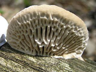 <i>Daedalea</i> genus of fungi