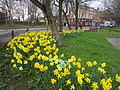 Daffodils, Lodge Lane, Liverpool.JPG