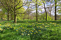 Daffodils in Kew Gardens.jpg