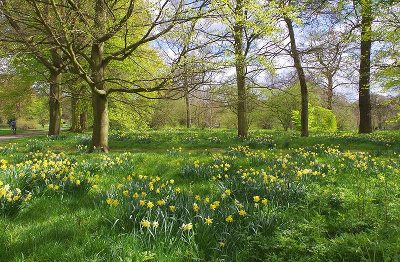 Jonquilles au printemps dans le parc de Kew Gardens à Londres. Photo de Dinkum.