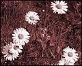 Daisies 2 (241412869).jpg