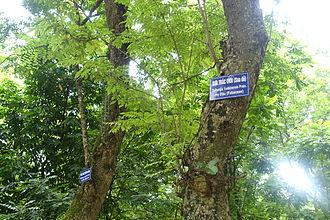 Dalbergia tonkinensis - Image: Dalbergia tonkinensis Hanoi Botanical Garden Hanoi, Vietnam DSC03637