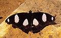 Danaid Eggfly - Hypolimnas misippus 02.JPG