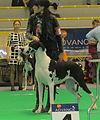 Dane Black Harlequin Narva CACIB 2014.JPG