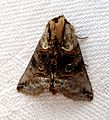 Dark Spectacle^ Abrostola triplasia - Flickr - gailhampshire.jpg