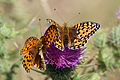 Dark green fritillaries (Argynnis aglaja) male and female.jpg