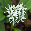 Daslook (Allium ursinum) 07-04-2020. (actm.) 04.jpg