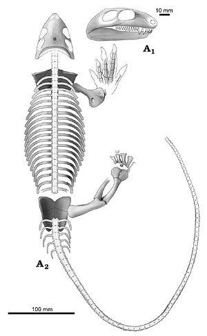 Datheosaurus - Skeleton