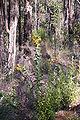 Daviesia cordata gnangarra 02.JPG