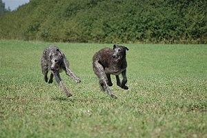 Scottish Deerhound - Scottish Deerhound running