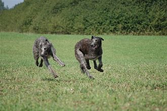 Scottish Deerhound - Scottish Deerhound running