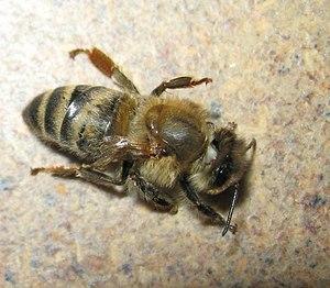 Deformed wing virus - Carniolan honey bee with DWV