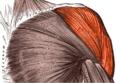 Deltoideus-anterior.png