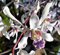 Dendrobium Lineale.jpg
