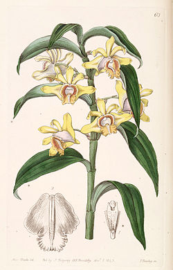 Dendrobium ruckeri - Edwards vol 29 (NS 6) pl 60 (1843).jpg