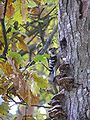 Dendrocopos minor mushrooms tree brok 3 beentree.jpg