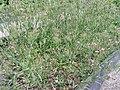 Dianthus armeria Uppsala.JPG