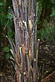 Dicksonia squarrosa in Auckland Botanic Gardens 02.jpg