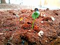 Dicotyledon Seedling with attached Seedcoat.jpg