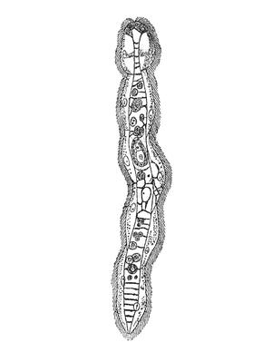 Mesozoa - Dicyema macrocephalum