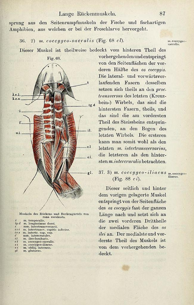 File:Die Anatomie des Frosches (Page 87) BHL33481558.jpg - Wikimedia ...