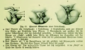 Die Frau als Hausärztin (1911) 025 Hinteres Körperende einer Leibesfrucht.png