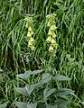 Digitalis grandifloraHabit.JPG