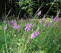 Digitalis purpurea1 ies.jpg