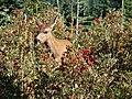 Doe deer surrounded by Mountain Ash berries. Near Guide House. Mid August 2015. (ea5ed140a5754b4eb92da2a2e0d57ddc).JPG
