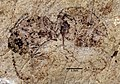 Dolichoderus antiquus UCM17000 dorsal.jpg