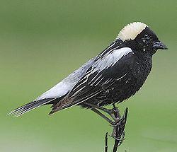 Dolichonyx Oryzivorus Wikipedia La Enciclopedia Libre