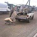 Donkey transporters.jpg