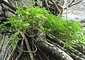 Dorstenia indica Sri Lanka 05.jpg
