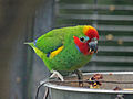 Double-eyed Fig Parrot RWD2.jpg