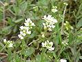 Draba lanceolata0.jpg