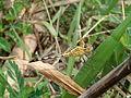 Dragonfly at Rajbiraj, Saptari, Nepal (2).jpg