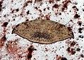 Drepana sp. (Drepanidae- Drepaninae) (4199140759).jpg