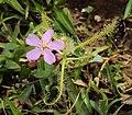 Drosera indica from Madayippara 04.JPG