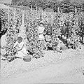 Druivenpluksters aan het werk, Bestanddeelnr 254-4151.jpg