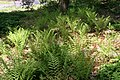 Dryopteris marginalis 11zz.jpg