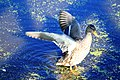 Duck Flapping its Wings, North Bay Park Ypsilanti, Township, Michigan - panoramio.jpg