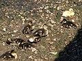 Ducklings, Frogmore - geograph.org.uk - 843680.jpg