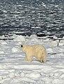Dungarees the polar bear (6376154679).jpg