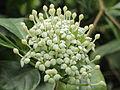 Duperrea pavettifolia-IMG 4433.jpg