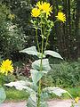 Durchwachsene Silphie (Silphium perfoliatum) Aug13@06.jpg