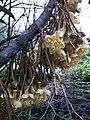 Durio flower 2, Cho Lach, Ben Tre, Viet Nam.JPG
