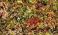 Dury Sphagnetalia magellanici 01.07.10 pl.jpg