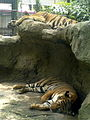 Dusit zoo tiger.jpg